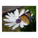 White Daisy and Butterfly