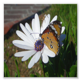 White Daisy and Butterfly Photo Print