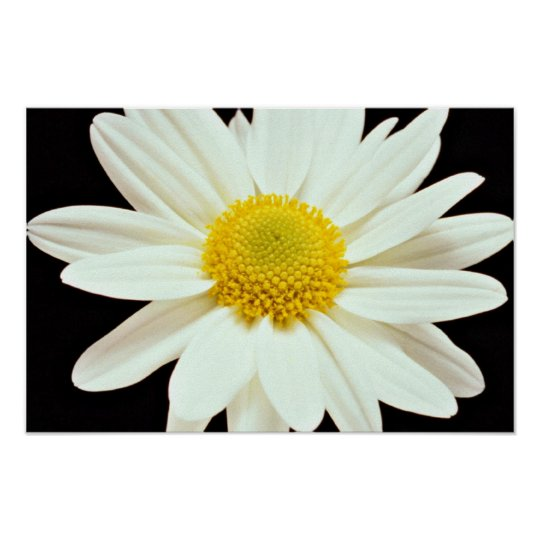 White daisy chrysanthemum  flowers poster