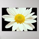 White daisy chrysanthemum  flowers print