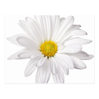 White Daisy Flower Background Customized Daisies Postcard