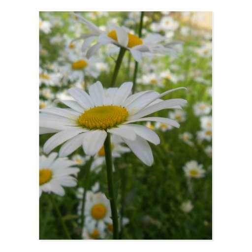White Daisy Flower Postcards