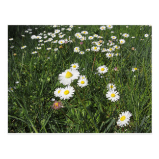 White daisy flowers on green background postcard