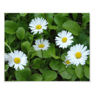 White Daisy Flowers Photo Print