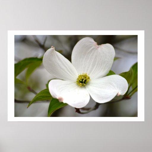 White Dogwood Flower Poster