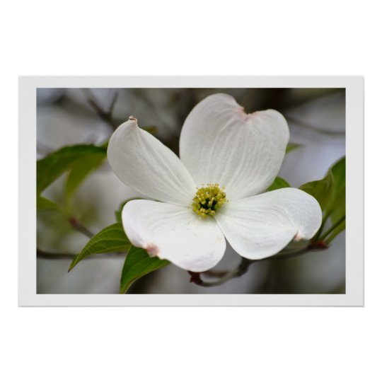 White Dogwood Flower Poster