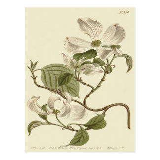White Dogwood Flowers Illustration Postcard