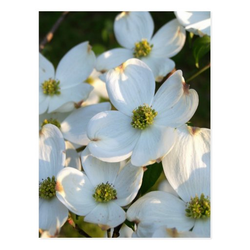 White Dogwood (Raw) Post Cards