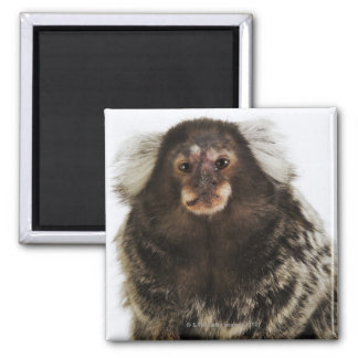 White eared Marmoset on branch, close up, studio Magnet
