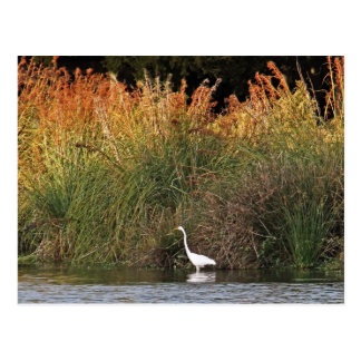 White Egret with Colorful Grasses Postcard