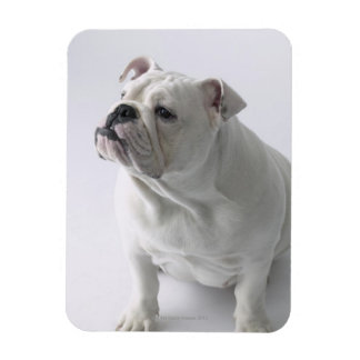 White English Bulldog sitting in studio, Flexible Magnet