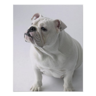 White English Bulldog sitting in studio, Poster
