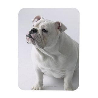 White English Bulldog sitting in studio, Rectangular Photo Magnet