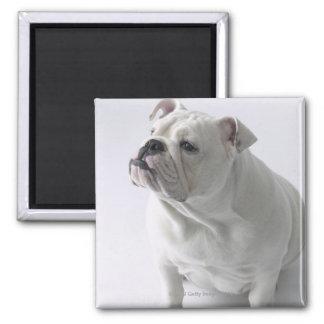 White English Bulldog sitting in studio, Square Magnet