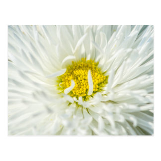 White English Daisy Flower Postcard