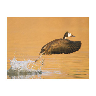 White-Faced Whistling Duck (Dendrocygna Viduata) Canvas Print
