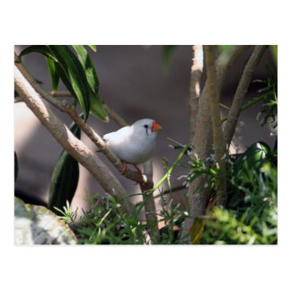 White Finch II Post Card