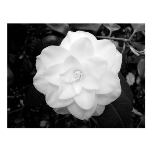 White Flower. (Black and White) Post Cards