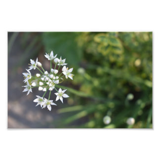 White Flowers Delicate Floral Blossom Nature Photo