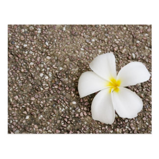 White Frangipani flower on rock surface Postcard