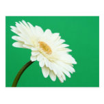 White Gerbera on Green Postcards