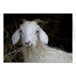 White Goat - Cute Animal Photography Greeting Card