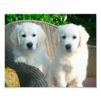 white golden retriever dogs sitting in fiber chair photo print