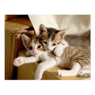 White Gray Striped Tiger Kitten Buddies Postcard