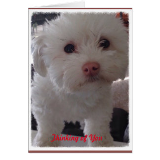 White Havachon Puppy Thinking of You Card