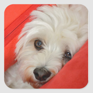 white havanese dog lies on orange cushions square sticker