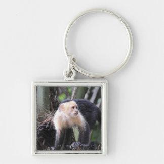 White-headed capuchin, Cebus capucinus. Playa Key Ring
