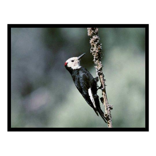 White-headed woodpecker postcard