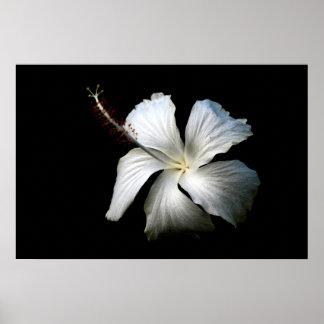 White hibiscus against black.jpg print