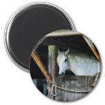White Horse in Stable Fridge Magnets