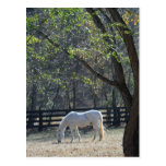 White Horse in trees Post Card
