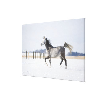 white horse in winter canvas print