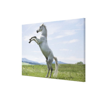 white horse jumping on meadow canvas print