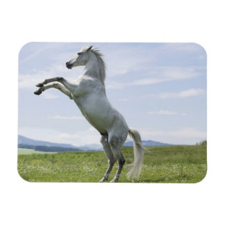white horse jumping on meadow rectangular photo magnet