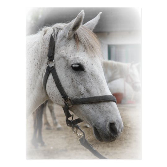White Horse Portrait Postcard