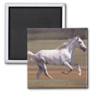 White horse running in field magnet
