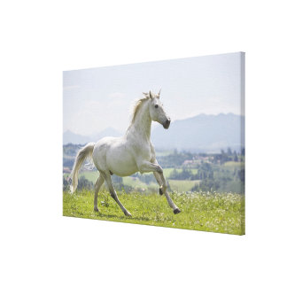 white horse running on meadow canvas print