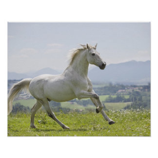 white horse running on meadow poster