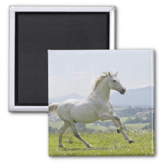white horse running on meadow square magnet