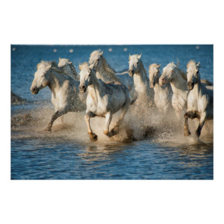 White horses of Camargue, France Poster