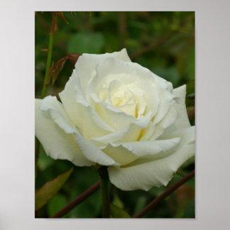 White Hybrid Tea Mrs Herbert Stevens Rose Posters