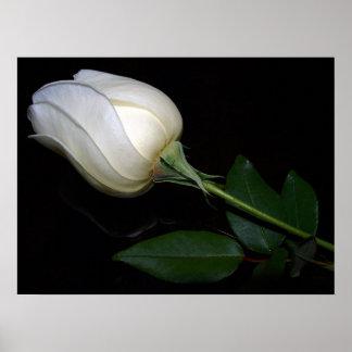 White Hybrid Tea Rose Poster