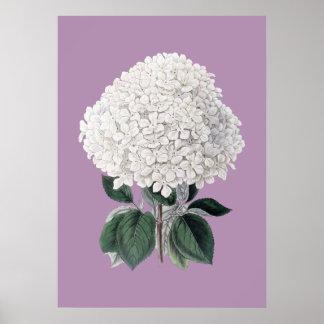 White hydrangea lila poster