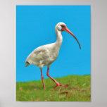 White Ibis Print