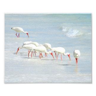 White Ibis Shore Birds on the Beach Photo Print