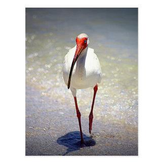 White Ibis Strut Postcard